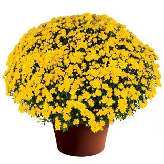 Image Of Yoder Garden Mum Makayla Yellow