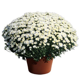 Image Of Yoder Garden Mum Makenzie White