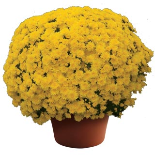 Yoder Garden Mum Mary Yellow