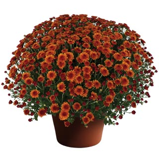 Yoder Garden Mum Miranda Orange