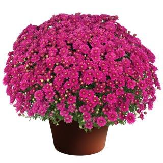 Image Of Yoder Garden Mum Nikki Dark Pink