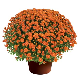 Yoder Garden Mum Nikki Orange