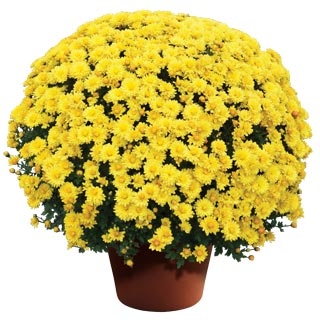 Image Of Yoder Garden Mum Nikki Yellow