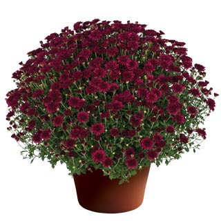 Yoder Garden Mum Patty Purple