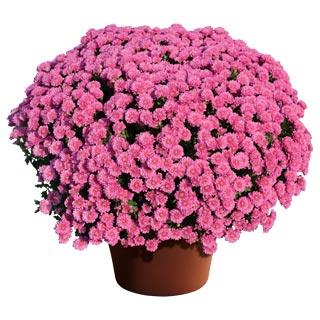 Image Of Yoder Garden Mum Rhonda Pink