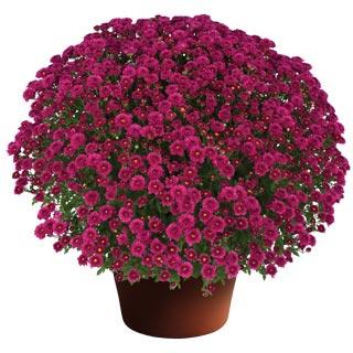 Image Of Yoder Garden Mum Rhonda Purple