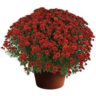 Image Of Yoder Garden Mum Rhonda Red