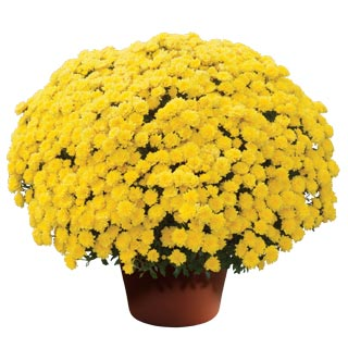 Image Of Yoder Garden Mum Rhonda Yellow
