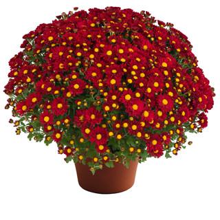 Image Of Yoder Garden Mum Rihanna Red