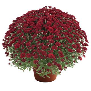 Image Of Yoder Garden Mum Selena Red