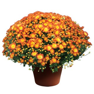 Yoder Garden Mum Stacy Dazzling Orange