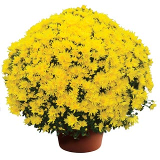 Yoder Garden Mum Stephany Yellow