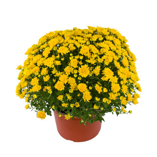 Yoder Garden Mum Tanya Yellow - Rooted Cutting Liner