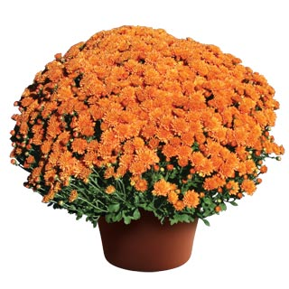 Yoder Garden Mum Ursula Fancy Orange