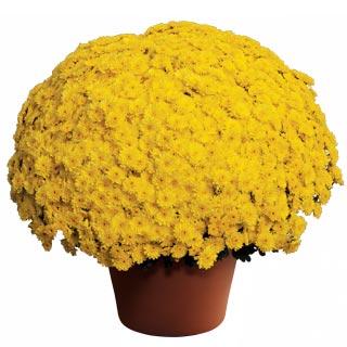 Image Of Yoder Garden Mum Ursula Sunny Yellow