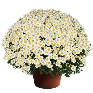 Image Of Yoder Garden Mum Vanna Snow