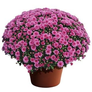 Image Of Yoder Garden Mum Wanda Lavender