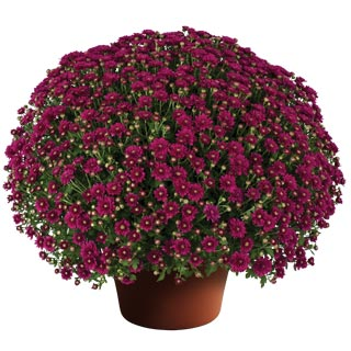 Image Of Yoder Garden Mum Wanda Purple