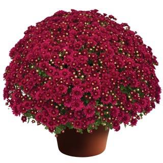 Image Of Yoder Garden Mum Wanda Red