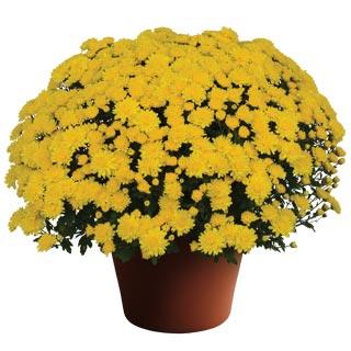 Image Of Yoder Garden Mum Wilma Yellow