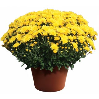 Yoder Garden Mum Yolanda Yellow - Rooted Cutting Liner