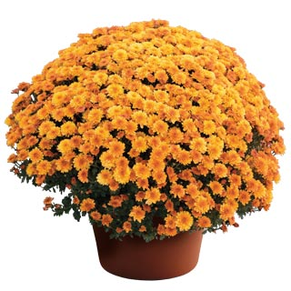 Yoder Garden Mum Yvette Orange Bicolor