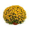 Yoder Garden Mum Yvette Yellow - Rooted Cutting Liner